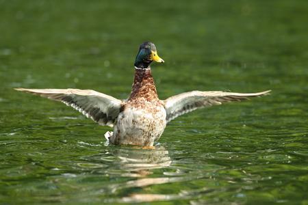platyrhynchos: male mallard flipping wings on pond ( Anas platyrhynchos ) Stock Photo
