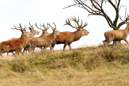 elaphus: herd of red deers on the hill ( Cervus elaphus, bucks )