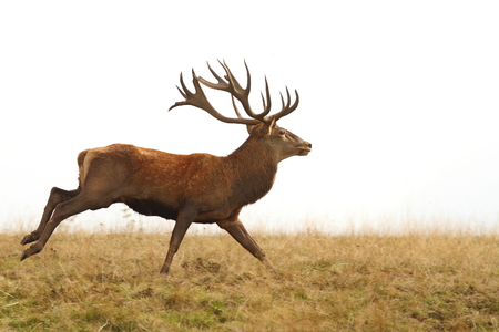 beautiful red deer stag running ( Cervus elaphus )