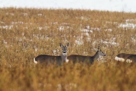capreolus: herd of roe deers in faded winter field ( Capreolus capreolus )