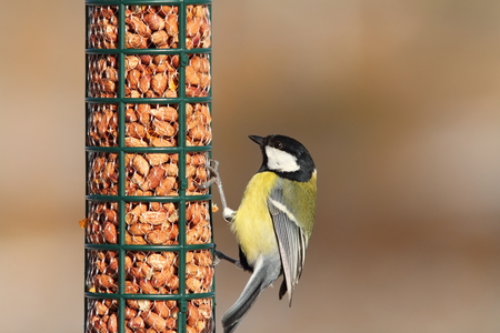 parus major: great tit eating on peanut garden bird feeder ( Parus major )