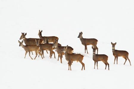 capreolus: roe deers walking on snow in a winter day ( Capreolus capreolus )
