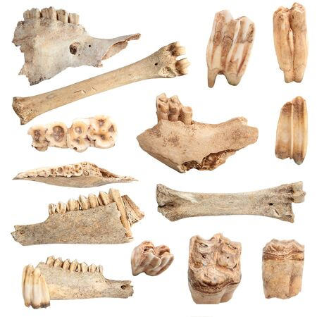 hunted: isolated collection of different animal bones, over white background; these are from animals hunted and eaten by cavemen long time ago