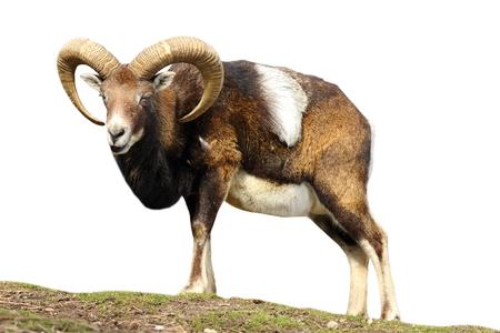 mouflon: isolated mouflon looking at the camera ( Ovis orientalis ) Stock Photo