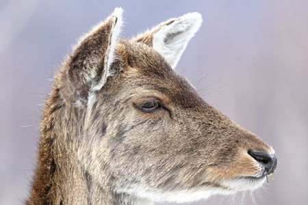 fallow deer: fallow deer calf close up portrait ( Dama dama, female )