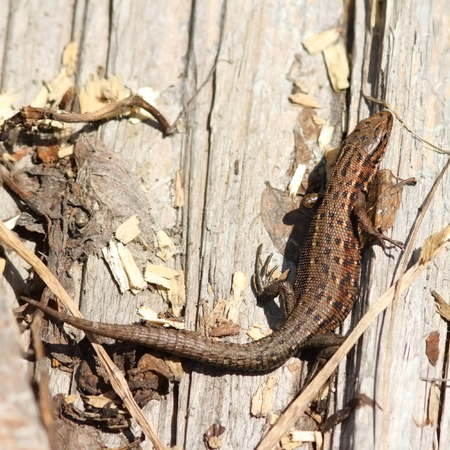 viviparous: viviparous lizard basking on stump ( Zootoca vivipara ) Stock Photo
