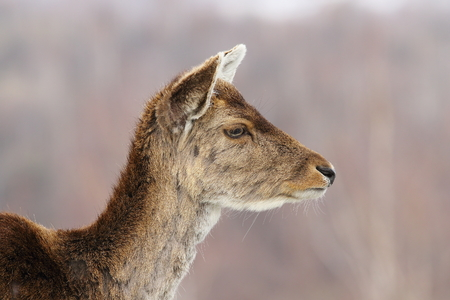 fallow deer: profile view of deer hind head, portrait of fallow deer doe ( Dama dama )