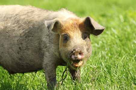 pigling: portrait of a funny pig grazing near the farm Stock Photo