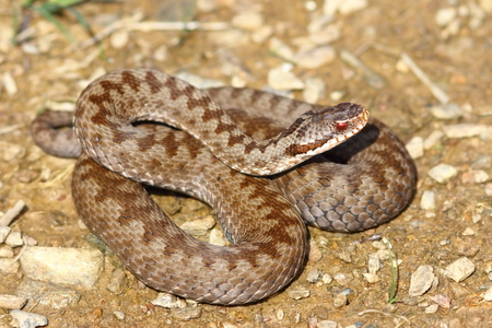 colorful female crossed viper on ground ( Vipera berus, the european common adder )