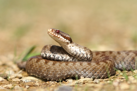 beautiful Vipera berus on ground ( the common crossed european adder, female )