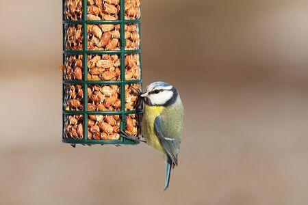 cyanistes: blue tit on bird feeder full of peanuts ( Cyanistes caeruleus )