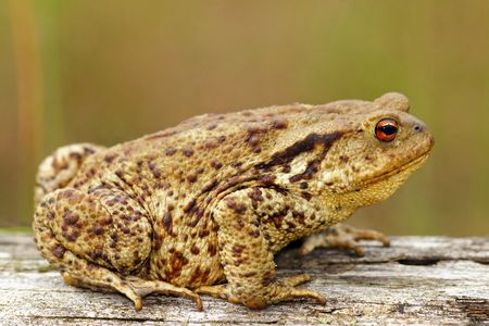 bufo toad: brown common toad on wooden stump ( Bufo bufo )