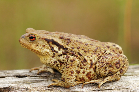 profile view: profile view of brown common toad ( Bufo bufo ) Stock Photo