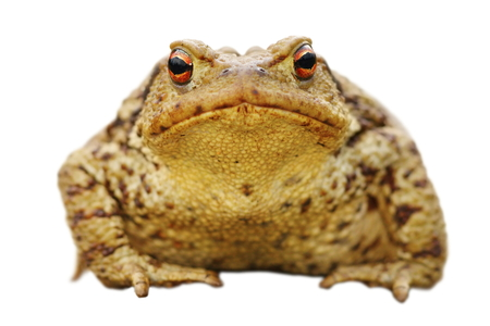 isolated close up of brown common toad, full length animal ( Bufo ), front view Stock Photo