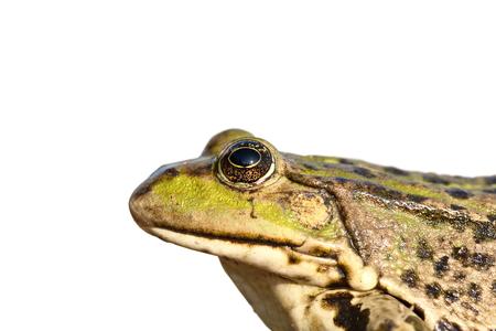 ridibundus: portrait of common marsh frog ( Pelophylax ridibundus ) isolated over white background, macro shot Stock Photo