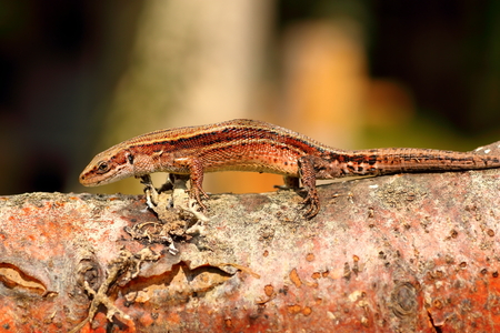 zootoca: balkan wall lizard basking on wooden stump ( Zootoca vivipara ) Stock Photo