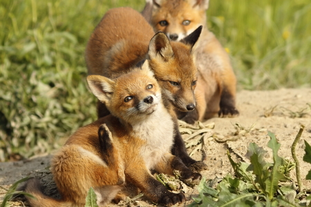 canid: family of young red foxes playing near the den ( Vulpes )