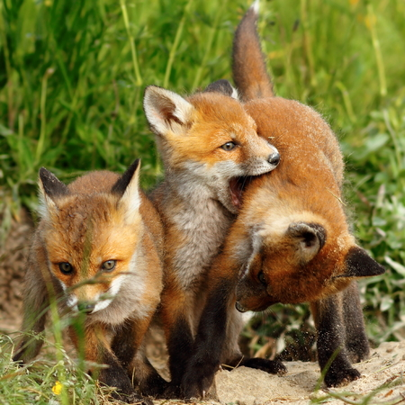 family of red foxes playing near the burrow ( Vulpes cubs )
