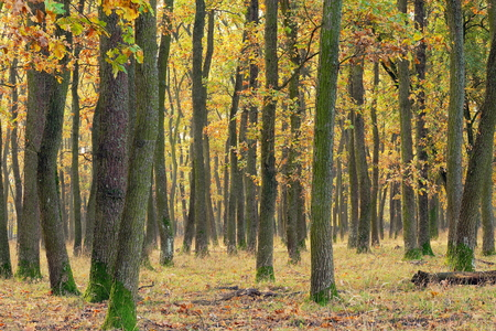 petrea: detail of oak forest in autumn season Stock Photo