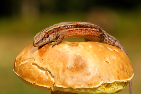 zootoca: balkan wall lizard basking on mushroom ( Zootoca vivipara )