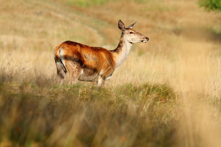 cervus: red deer doe on mountain meadow ( Cervus Elaphus )