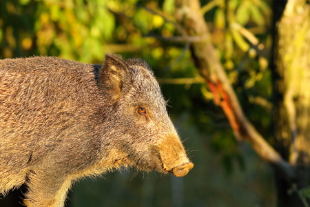 close up of wild boar ( Sus scrofa ) Stock Photo