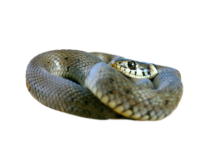 sliding scale: juvenile grass snake isolated over white background ( Natrix ) Stock Photo