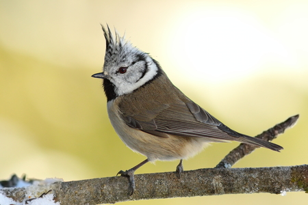 tiny european crested tit perched on twig  in the garden ( Lophophanes cristatus )