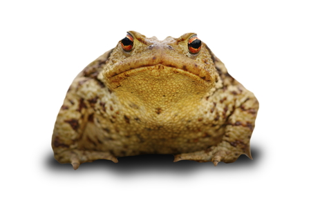 bufo frog over white with shadow ( common toad )