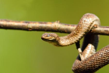 close up of smooth snake climbing on branch ( Coronella austriaca ) Stock Photo