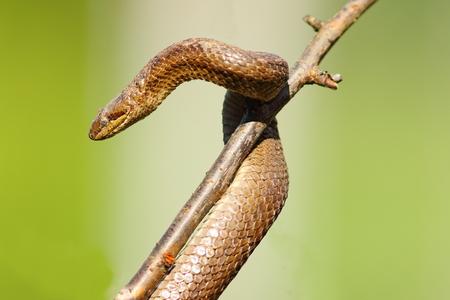 smooth snake hatched after hibernation, climbing on tree branch ( Coronella austriaca )