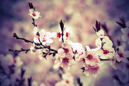 beautiful japanese cherry flowers in march, closeup of branch