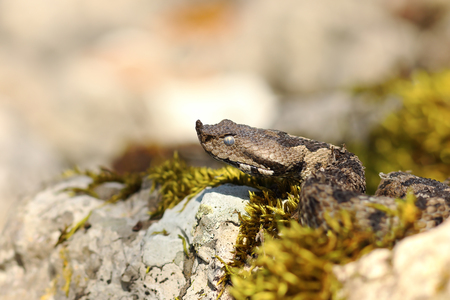nose horned viper portrait  in natural habitat ( Vipera ammodytes ) Stock Photo