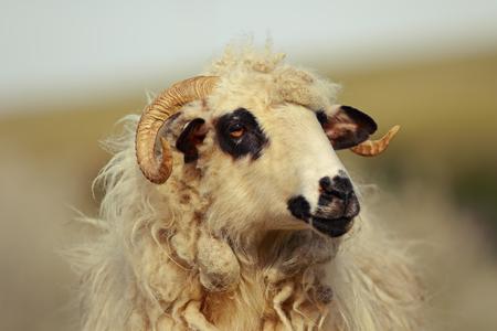 portrait of big domestic ram at the farm Stock Photo