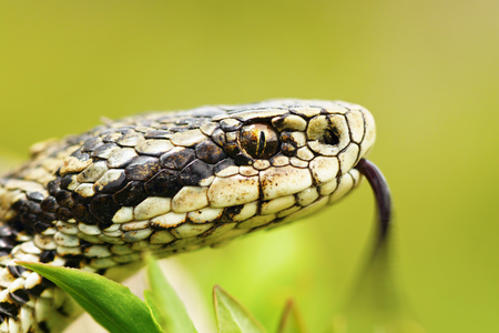 portrait of female Vipera ursinii rakosiensis, the hungarian meadow adder, one of the rarest snakes in Europe, listed by IUCN as endangered  Stock Photo