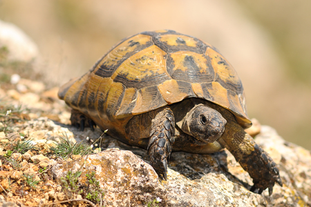 closeup of wild Testudo graeca in natural habitat, image taken in spring after hibernation ( spur-thighed tortoise ) Reklamní fotografie