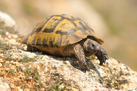 Testudo graeca on a rock in a spring sunny day ( spur thighed tortoise )