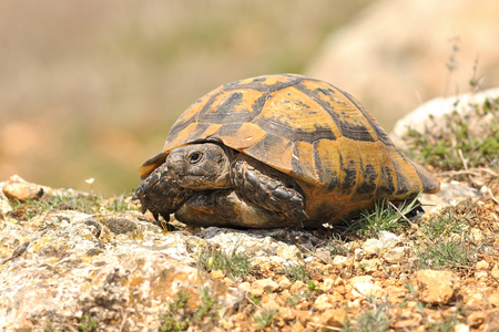 Testudo graeca basking on rocky ground at the end on march  (  spur-thighed tortoise )