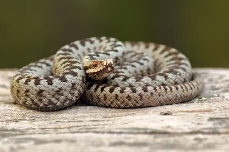 european crossed adder basking on wood stump ( Vipera berus, a venomous widespread european snake )