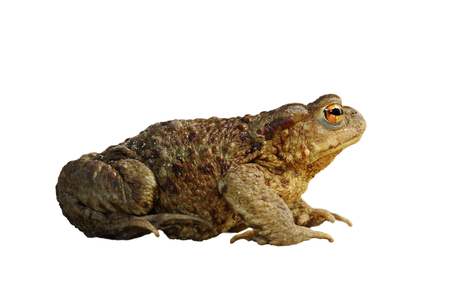 common brown toad isolated over white ( Bufo ), full length animal Stock Photo