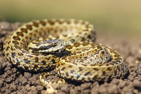 beautiful male hungarian meadow viper ready to attack ( Vipera ursinii rakosiensis )