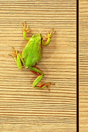 principe rana: cute green tree frog climbing on furniture ( Hyla arborea )