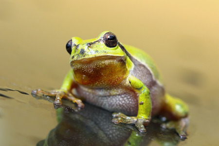 principe rana: rana de árbol europeo lindo que se coloca en la superficie de cristal mojada (Hyla arborea)