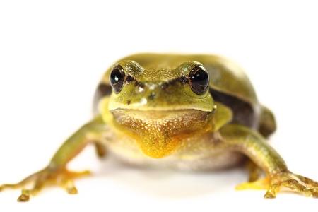 principe rana: cuteeuropean  tree frog on white background ( Hyla arborea, portrait )