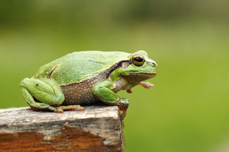 gorgeous european tree frog standing on wood stump, green out of focus background ( Hyla arborea )