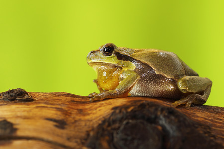male tree frog singing on wood stump in mating season, calling for females ( Hyla arborea )