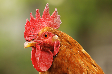 portrait of beautiful proud rooster, focus on the eye of animal
