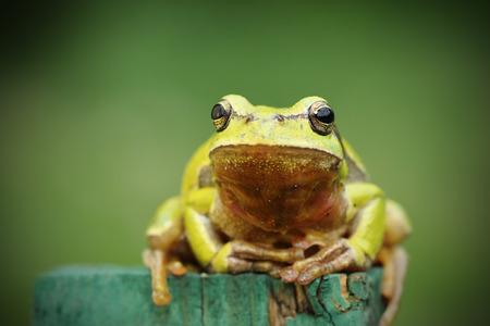 tree frog looking at camera ( Hyla arborea )