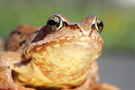 principe rana: macro retrato de la rana común europea (Rana temporaria) Foto de archivo