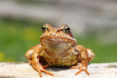 close up of european common frog ( Rana temporaria )